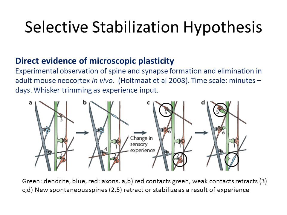 Selective Stabilization Hypothesis Direct evidence of microscopic plasticity Experimental observation of spine and synapse formation and elimination in adult mouse neocortex in vivo.