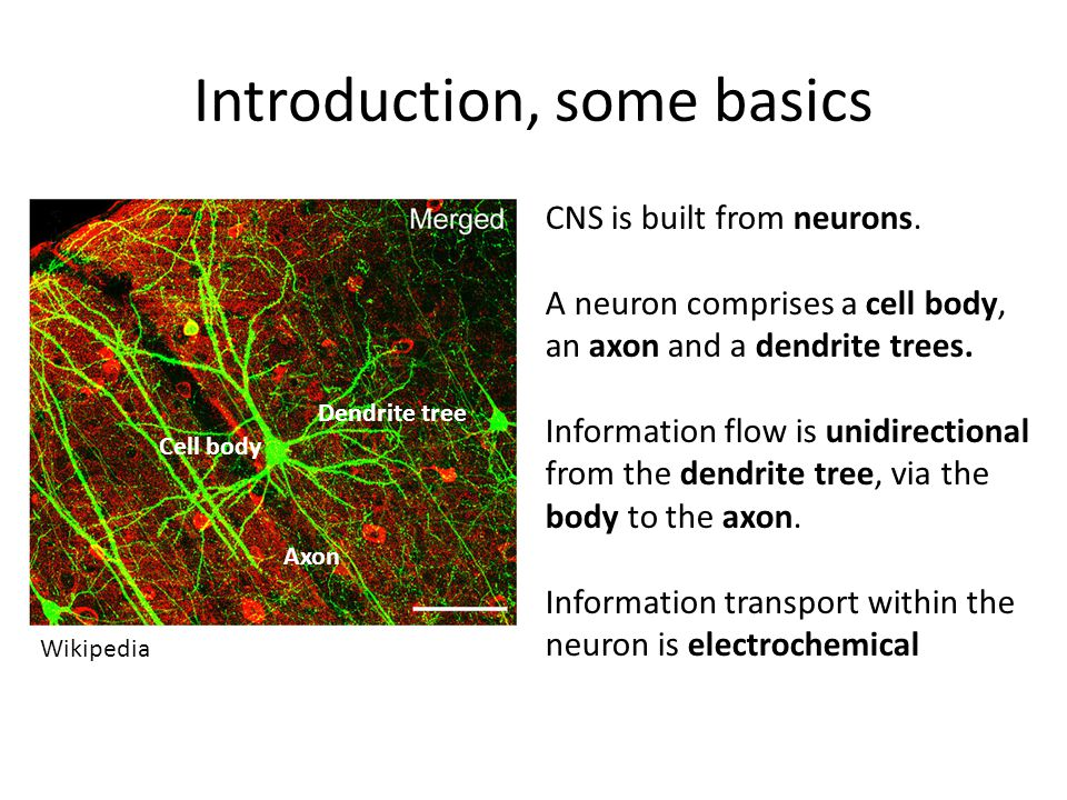 Introduction, some basics CNS is built from neurons.