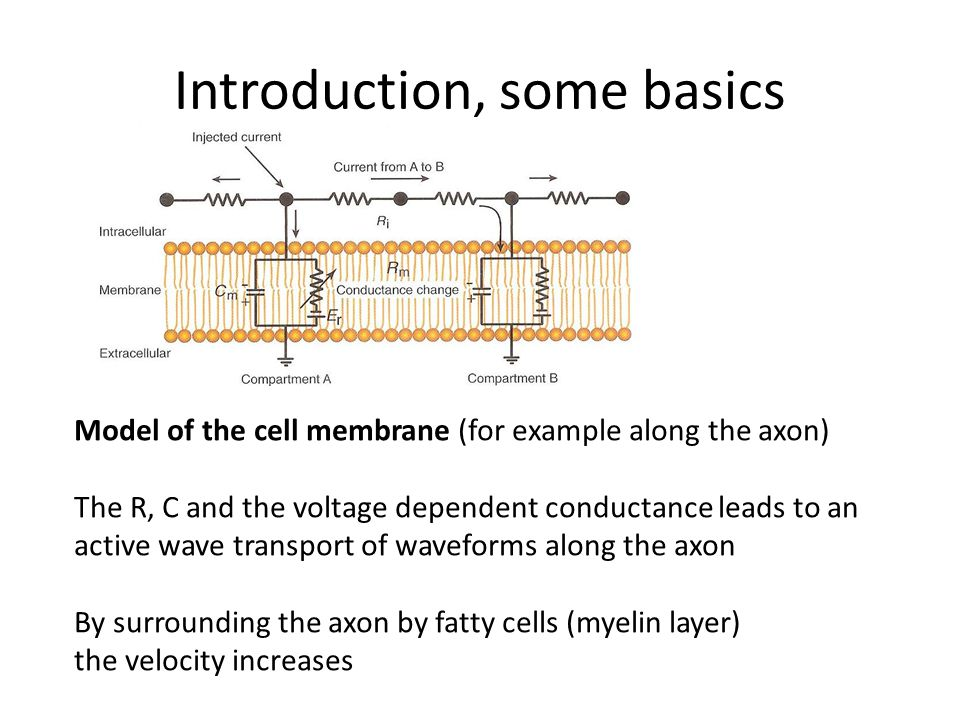 Introduction, some basics Model of the cell membrane (for example along the axon) The R, C and the voltage dependent conductance leads to an active wave transport of waveforms along the axon By surrounding the axon by fatty cells (myelin layer) the velocity increases