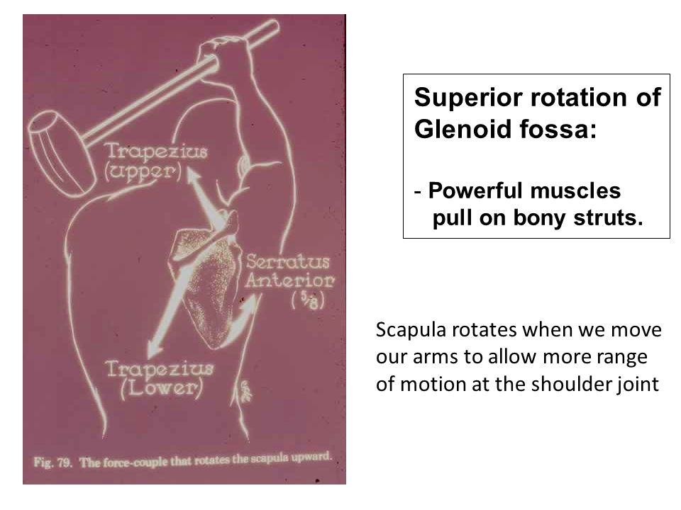 Superior rotation of Glenoid fossa: - Powerful muscles pull on bony struts. Scapula rotates when we move our arms to allow more range of motion at the