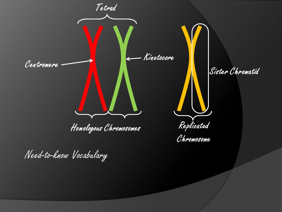 The polar fibers retract and separate the sister chromatids.