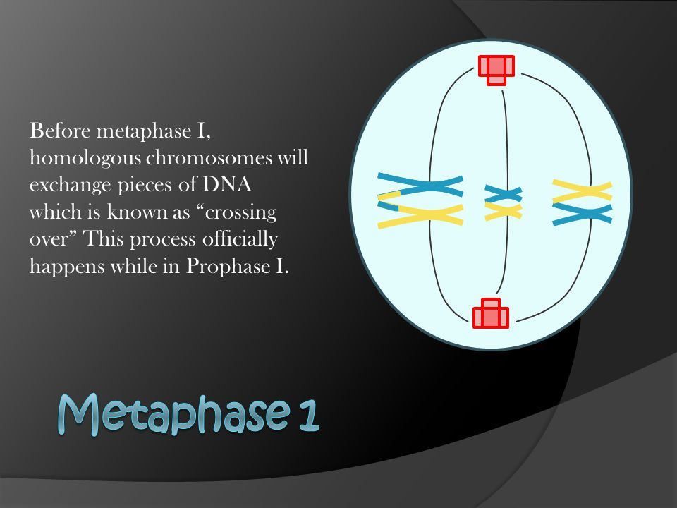 The homologous pairs move to the equator, and the centrioles attach spindle fibers to the kinetocore of the nearest chromosome.