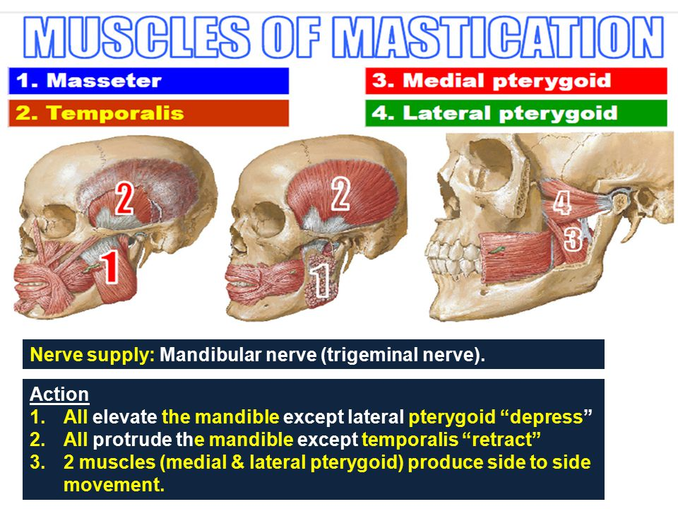 """Action 1.All elevate the mandible except lateral pterygoid """"depress"""" 2.All protrude the mandible except temporalis """"retract"""" 3.2 muscles (medial & lat"""