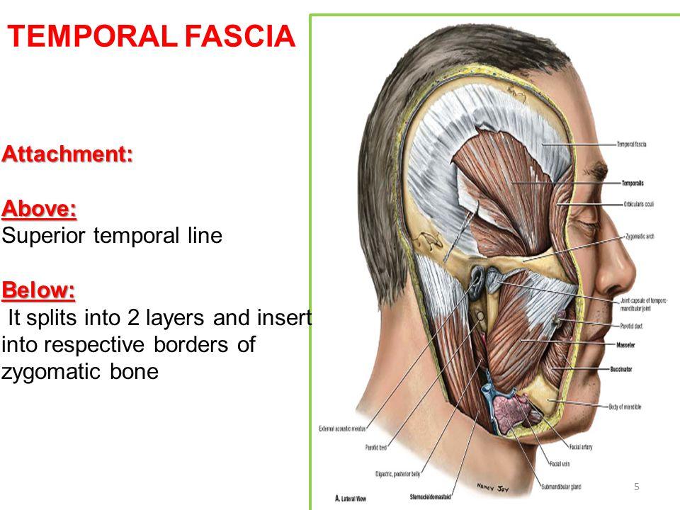 5 TEMPORAL FASCIA Attachment:Above: Superior temporal lineBelow: It splits into 2 layers and insert into respective borders of zygomatic bone