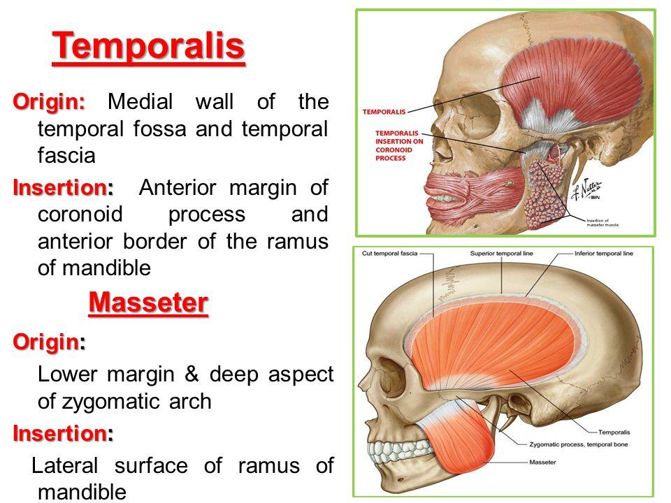 Temporalis Origin: Origin: Medial wall of the temporal fossa and temporal fascia Insertion: Insertion: Anterior margin of coronoid process and anterio