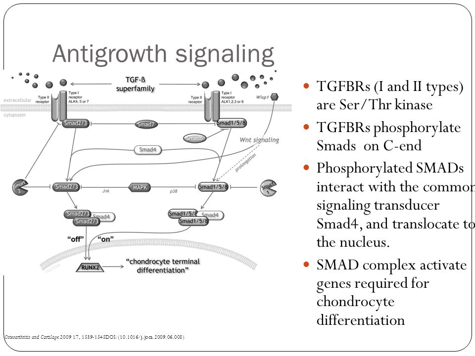 Antigrowth signaling Osteoarthritis and Cartilage 2009 17, 1539-1545DOI: (10.1016/j.joca.2009.06.008) TGFBRs (I and II types) are Ser/Thr kinase TGFBRs phosphorylate Smads on C-end Phosphorylated SMADs interact with the common signaling transducer Smad4, and translocate to the nucleus.
