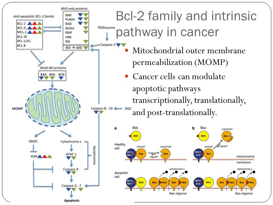 Bcl-2 family and intrinsic pathway in cancer Mitochondrial outer membrane permeabilization (MOMP) Cancer cells can modulate apoptotic pathways transcriptionally, translationally, and post-translationally.