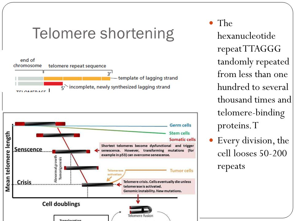 Telomere shortening The hexanucleotide repeat TTAGGG tandomly repeated from less than one hundred to several thousand times and telomere-binding proteins.