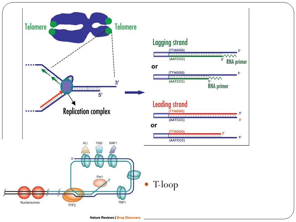 Telomere shortening T-loop