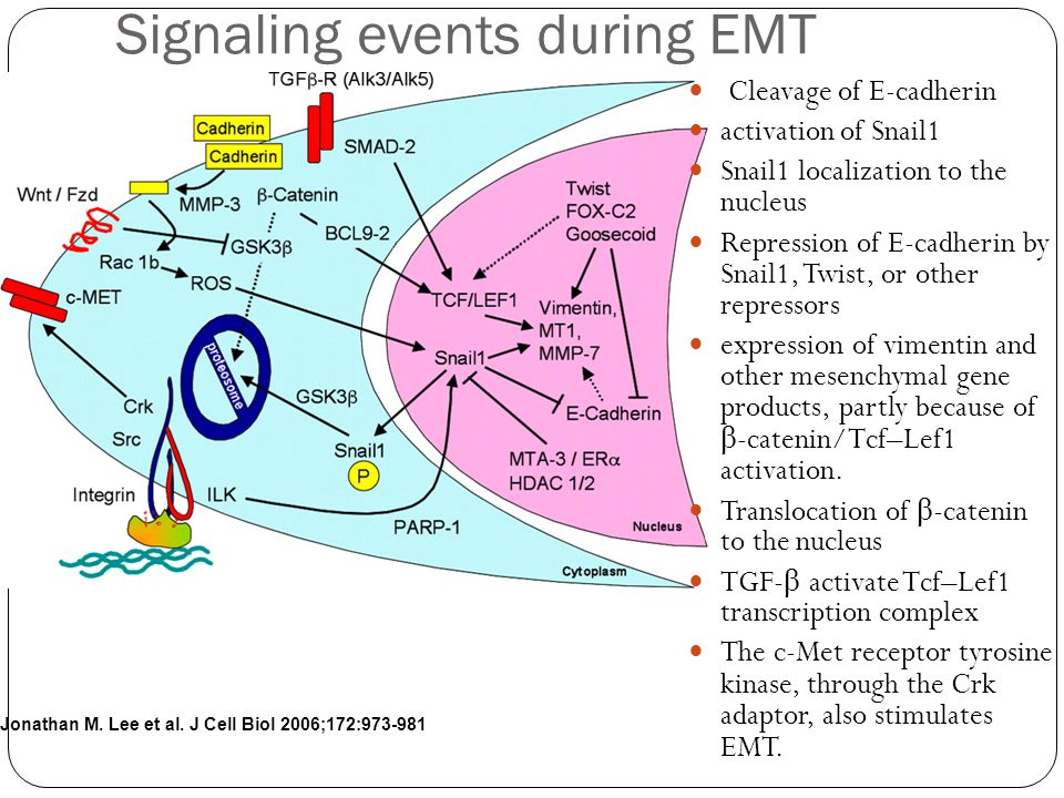 Jonathan M. Lee et al. J Cell Biol 2006;172:973-981 Signaling events during EMT Cleavage of E-cadherin activation of Snail1 Snail1 localization to the