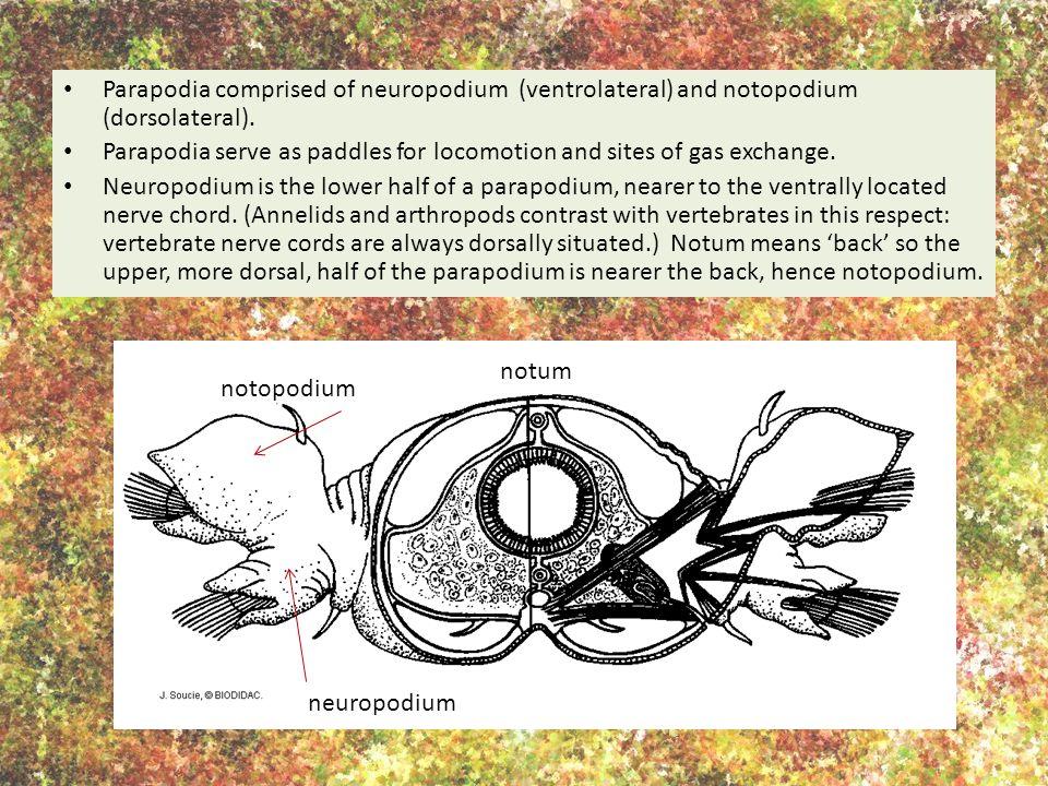 Parapodia comprised of neuropodium (ventrolateral) and notopodium (dorsolateral).