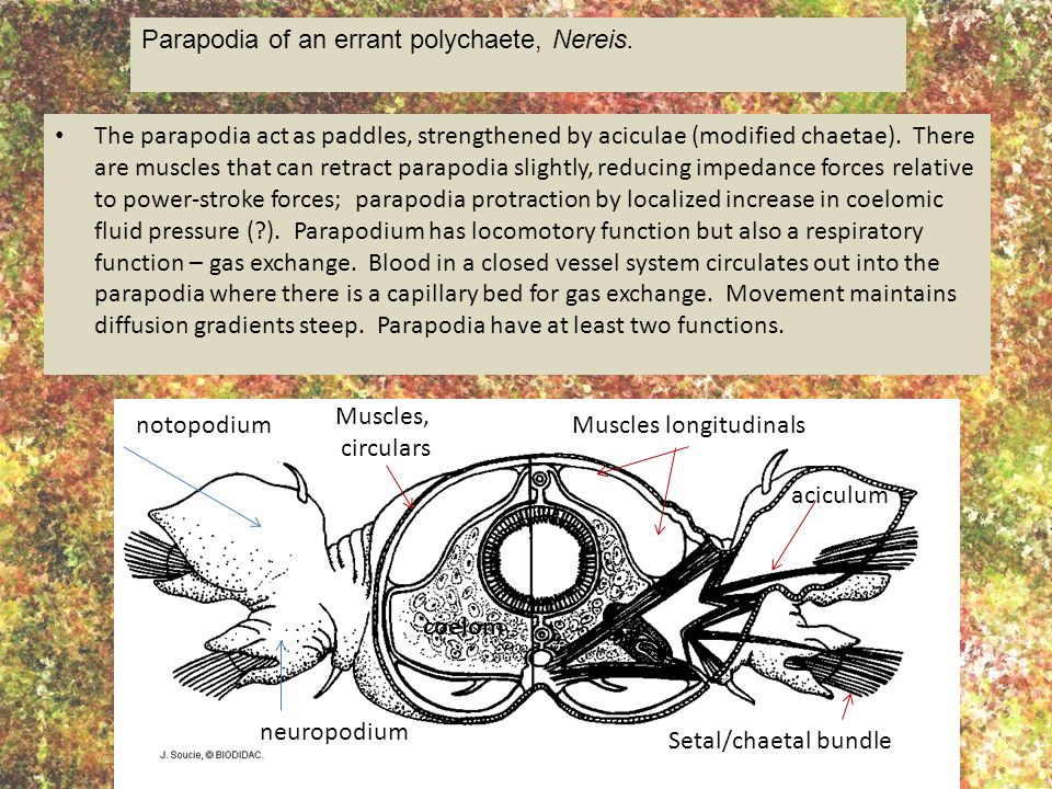 The parapodia act as paddles, strengthened by aciculae (modified chaetae). There are muscles that can retract parapodia slightly, reducing impedance f