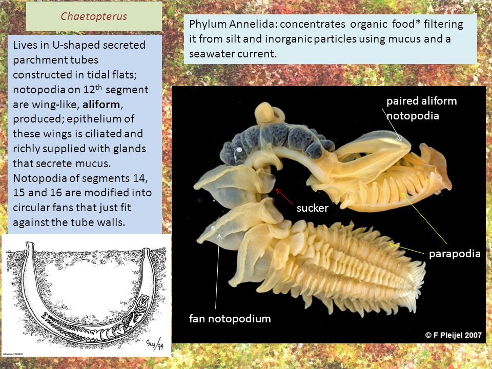 Phylum Annelida: concentrates organic food* filtering it from silt and inorganic particles using mucus and a seawater current.