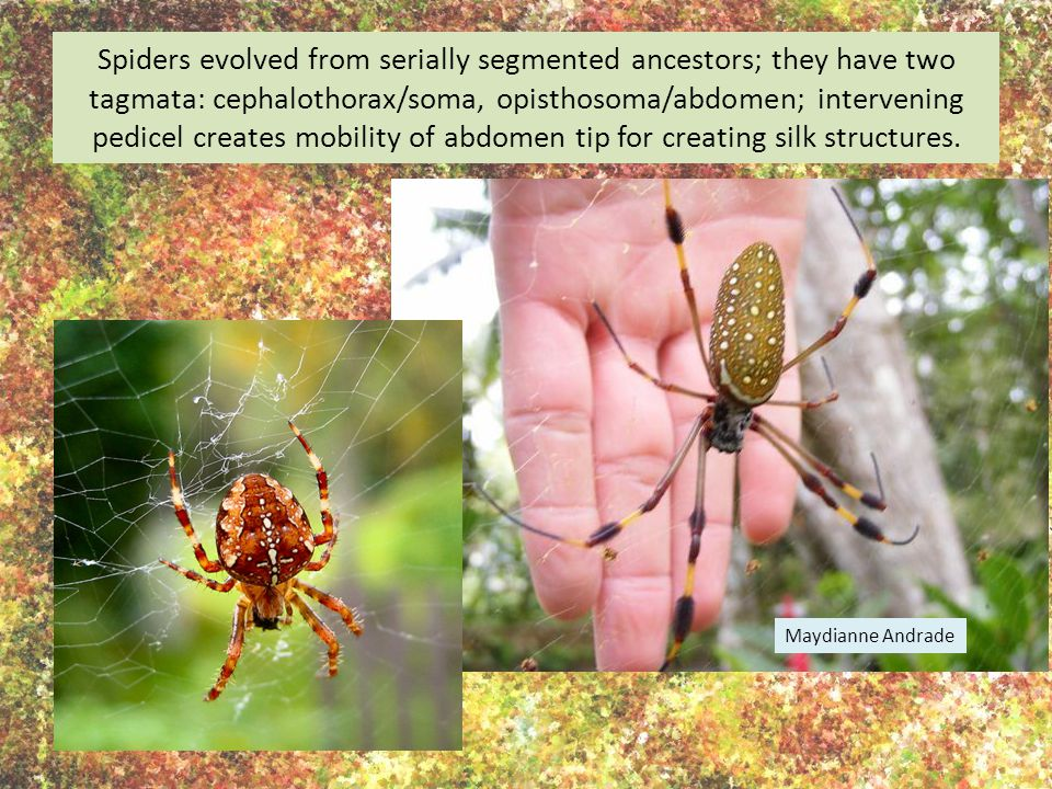 Spiders evolved from serially segmented ancestors; they have two tagmata: cephalothorax/soma, opisthosoma/abdomen; intervening pedicel creates mobility of abdomen tip for creating silk structures.