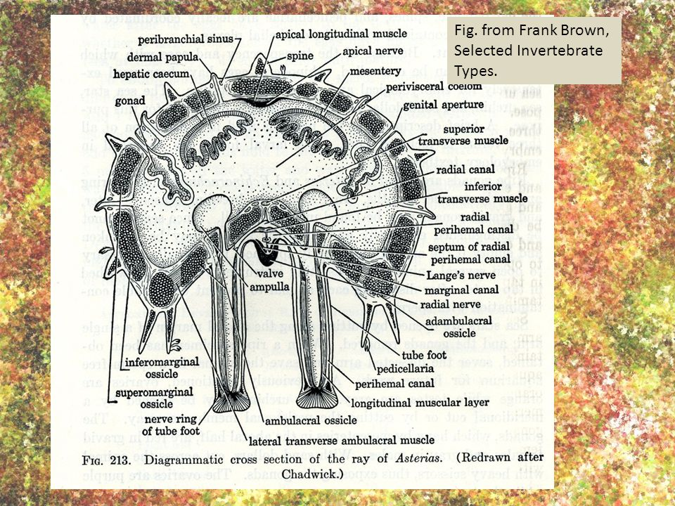 Fig. from Frank Brown, Selected Invertebrate Types.