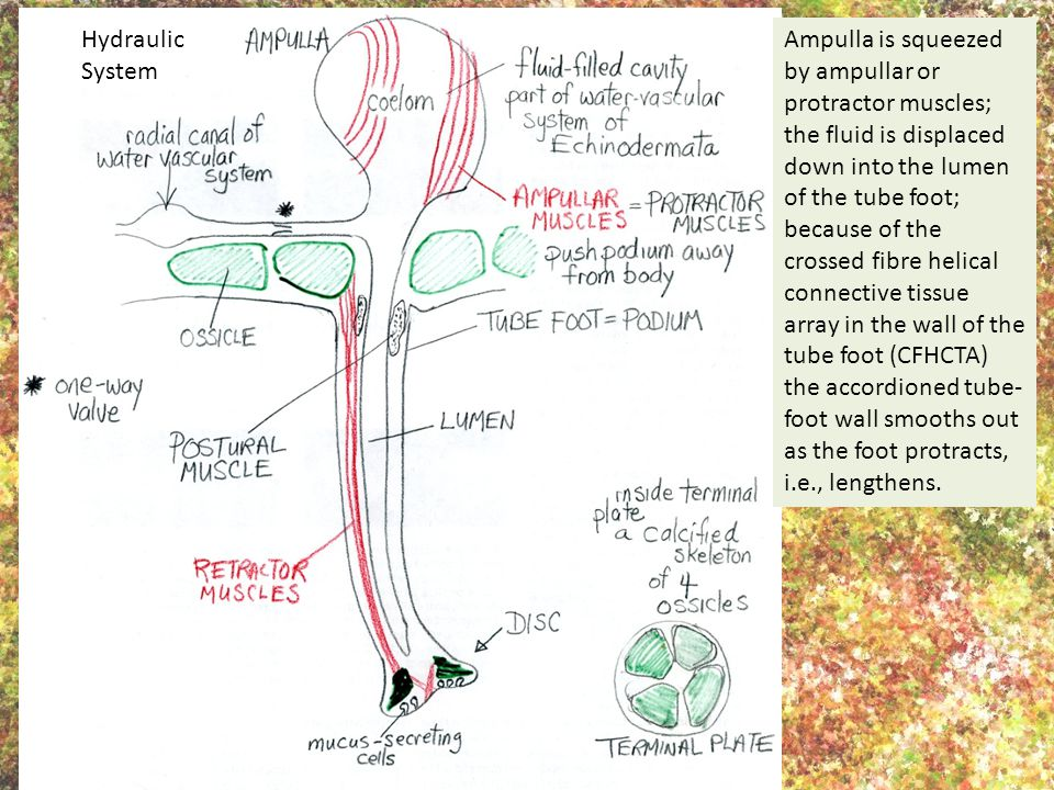 Ampulla is squeezed by ampullar or protractor muscles; the fluid is displaced down into the lumen of the tube foot; because of the crossed fibre helic