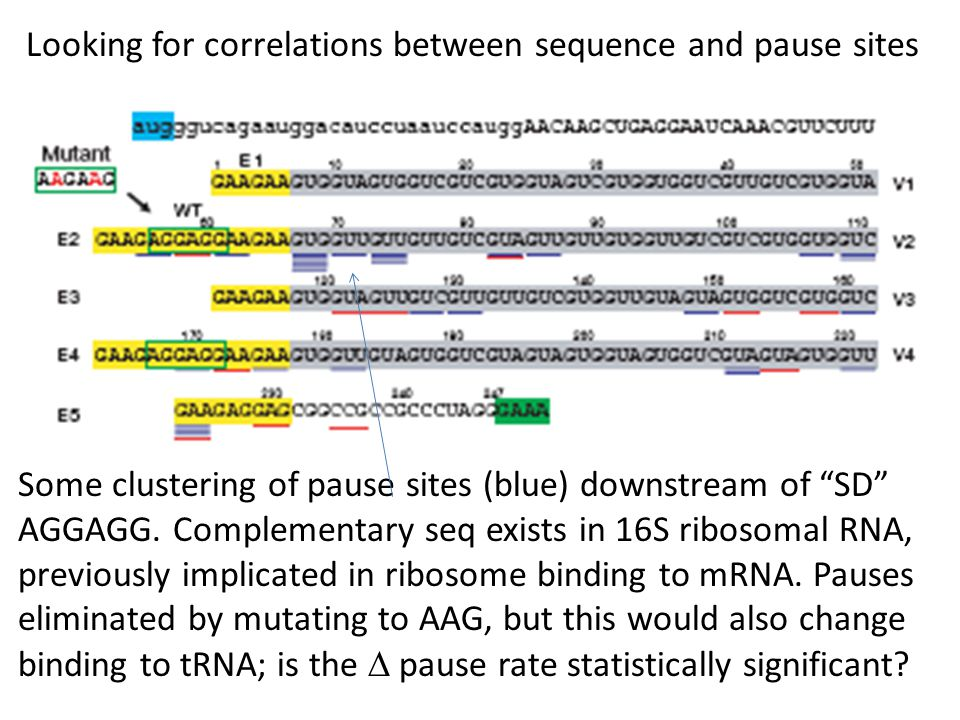 "Looking for correlations between sequence and pause sites Some clustering of pause sites (blue) downstream of ""SD"" AGGAGG. Complementary seq exists in"