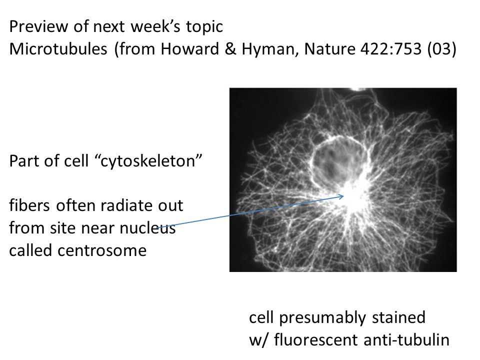 "Preview of next week's topic Microtubules (from Howard & Hyman, Nature 422:753 (03) Part of cell ""cytoskeleton"" fibers often radiate out from site nea"