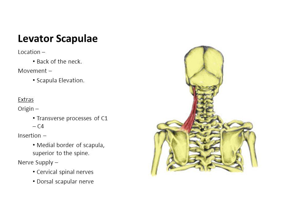 Levator Scapulae Location – Back of the neck. Movement – Scapula Elevation. Extras Origin – Transverse processes of C1 – C4 Insertion – Medial border