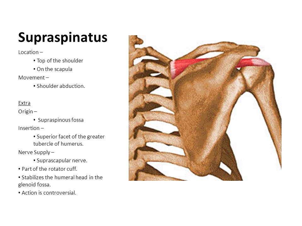 Supraspinatus Location – Top of the shoulder On the scapula Movement – Shoulder abduction. Extra Origin – Supraspinous fossa Insertion – Superior face