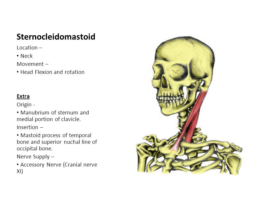 Sternocleidomastoid Location – Neck Movement – Head Flexion and rotation Extra Origin - Manubrium of sternum and medial portion of clavicle. Insertion