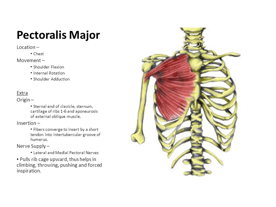 Pectoralis Minor Location – Chest Movement – Stabilizes scapula by drawing it inferiorly and anteriorly against thoracic wall Extras Origin – 3rd to 5th ribs near their costal cartilages Insertion – Medial border and superior surface of coracoid process of scapula Nerve Supply – Medial pectoral nerves (C8, T1)