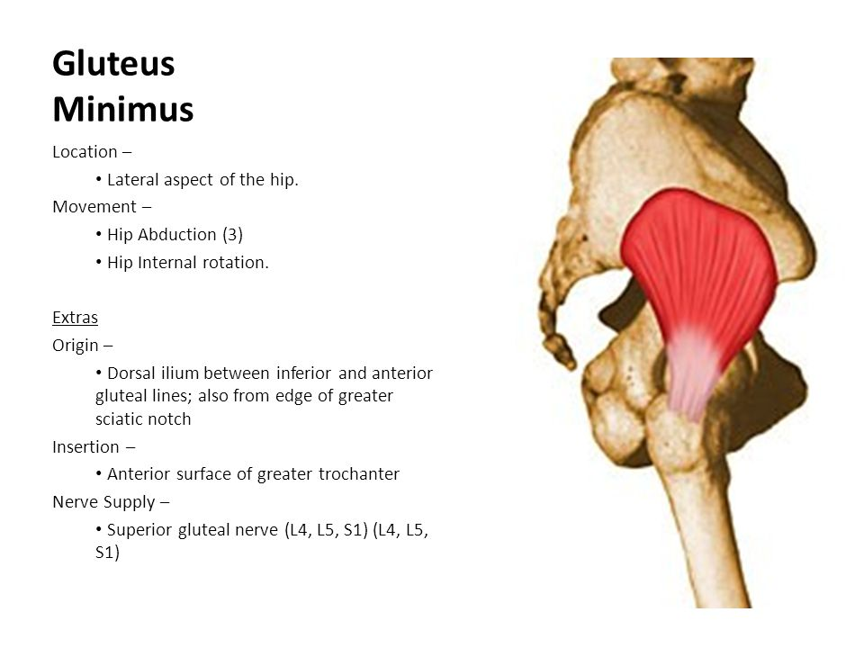 Gluteus Minimus Location – Lateral aspect of the hip. Movement – Hip Abduction (3) Hip Internal rotation. Extras Origin – Dorsal ilium between inferio