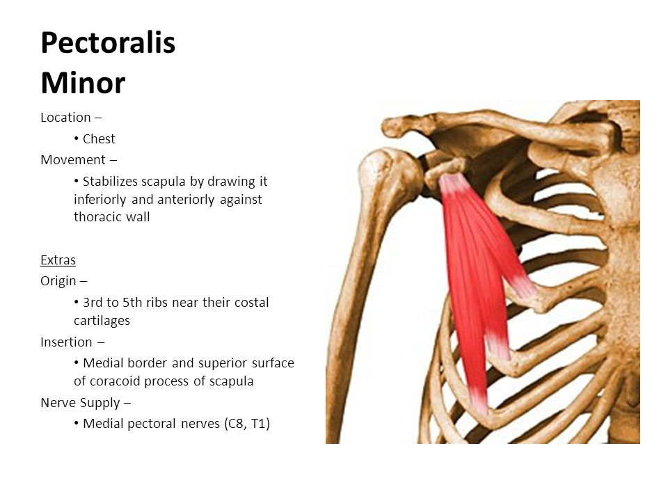 Pectoralis Minor Location – Chest Movement – Stabilizes scapula by drawing it inferiorly and anteriorly against thoracic wall Extras Origin – 3rd to 5