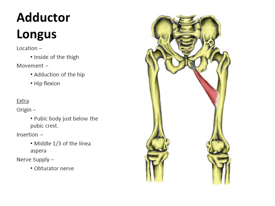 Adductor Longus Location – Inside of the thigh Movement – Adduction of the hip Hip flexion Extra Origin – Pubic body just below the pubic crest. Inser