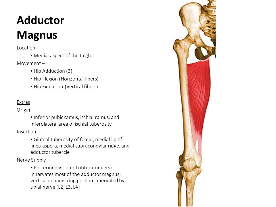 Adductor Magnus Location – Medial aspect of the thigh. Movement – Hip Adduction (3) Hip Flexion (Horizontal fibers) Hip Extension (Vertical fibers) Ex