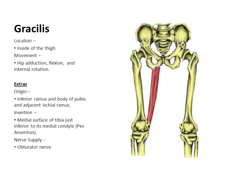 Gracilis Location – Inside of the thigh. Movement – Hip adduction, flexion, and internal rotation. Extras Origin – Inferior ramus and body of pubis an