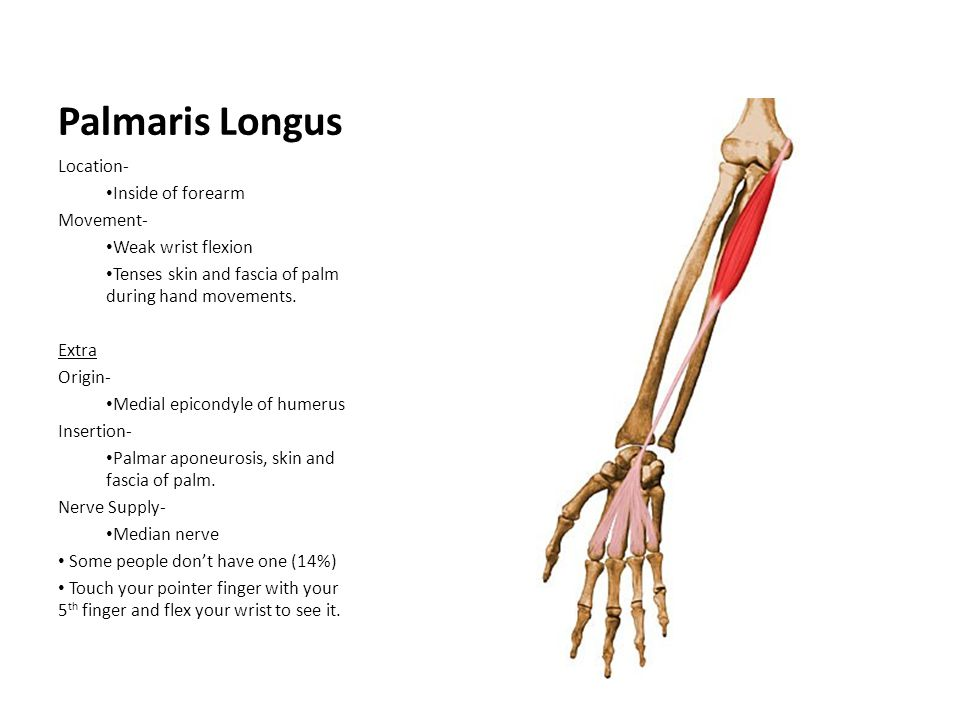 Palmaris Longus Location- Inside of forearm Movement- Weak wrist flexion Tenses skin and fascia of palm during hand movements. Extra Origin- Medial ep
