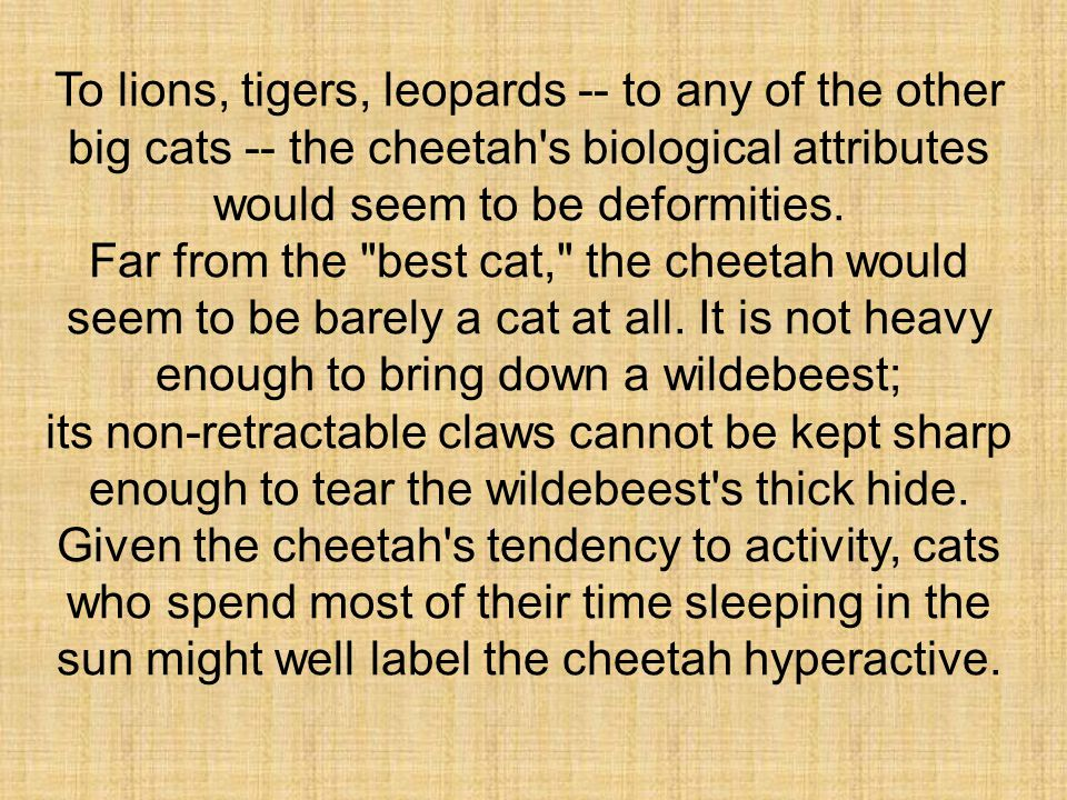 To lions, tigers, leopards -- to any of the other big cats -- the cheetah s biological attributes would seem to be deformities.