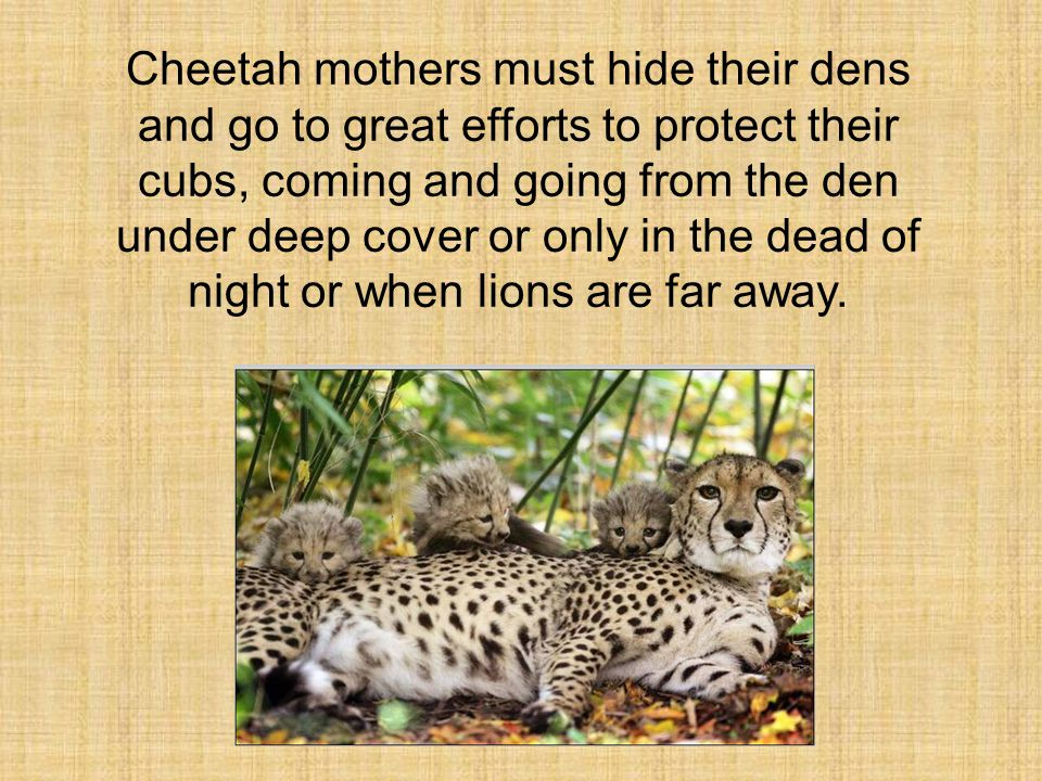 Cheetah mothers must hide their dens and go to great efforts to protect their cubs, coming and going from the den under deep cover or only in the dead of night or when lions are far away.