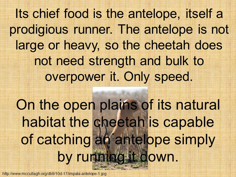 Its chief food is the antelope, itself a prodigious runner.