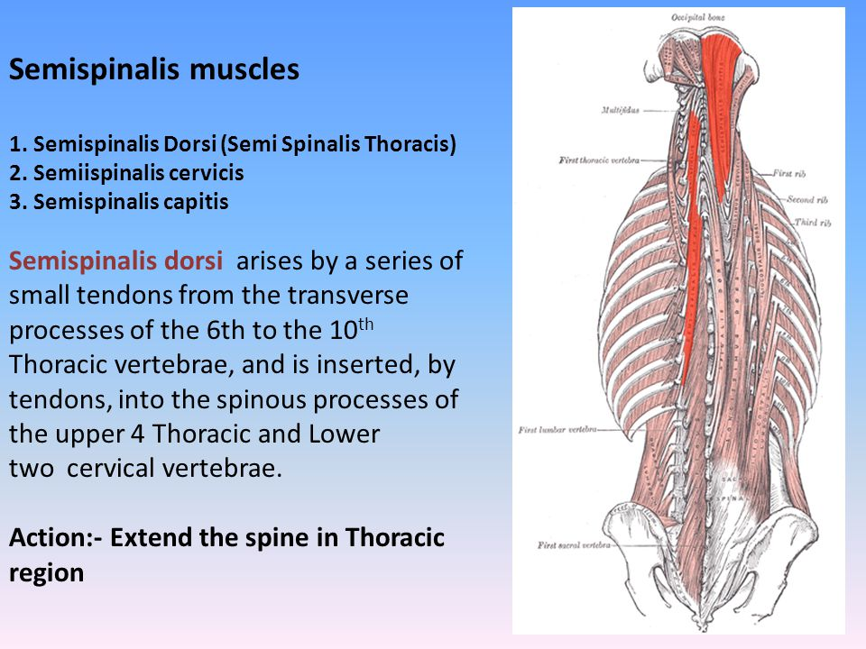 Semispinalis dorsi arises by a series of small tendons from the transverse processes of the 6th to the 10 th Thoracic vertebrae, and is inserted, by t