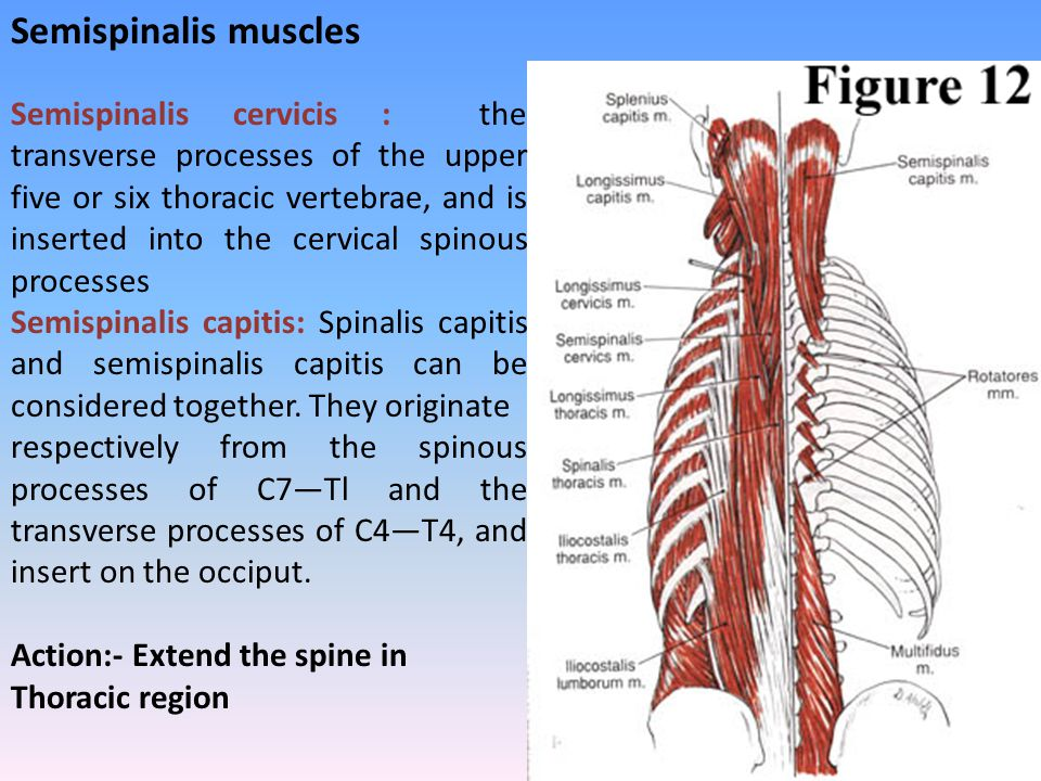 Semispinalis cervicis : the transverse processes of the upper five or six thoracic vertebrae, and is inserted into the cervical spinous processes Semi