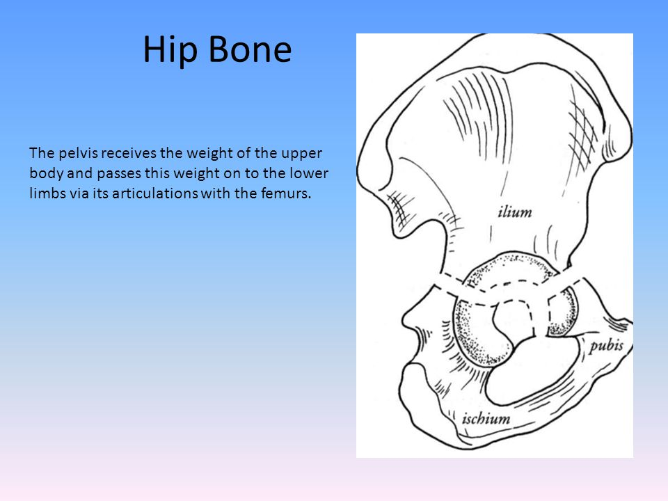 Hip Bone The pelvis receives the weight of the upper body and passes this weight on to the lower limbs via its articulations with the femurs.