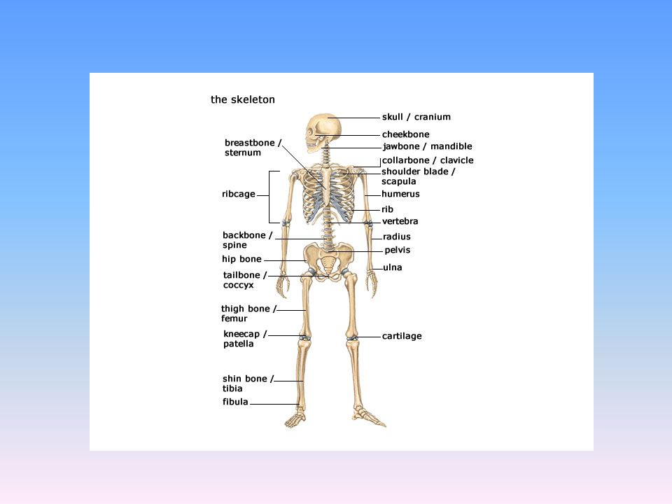 Axial Skeleton Made up of 80 bones.