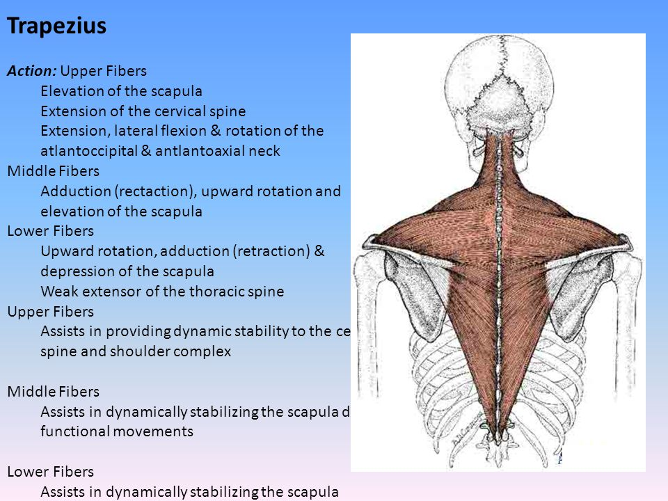 Trapezius Action: Upper Fibers Elevation of the scapula Extension of the cervical spine Extension, lateral flexion & rotation of the atlantoccipital &