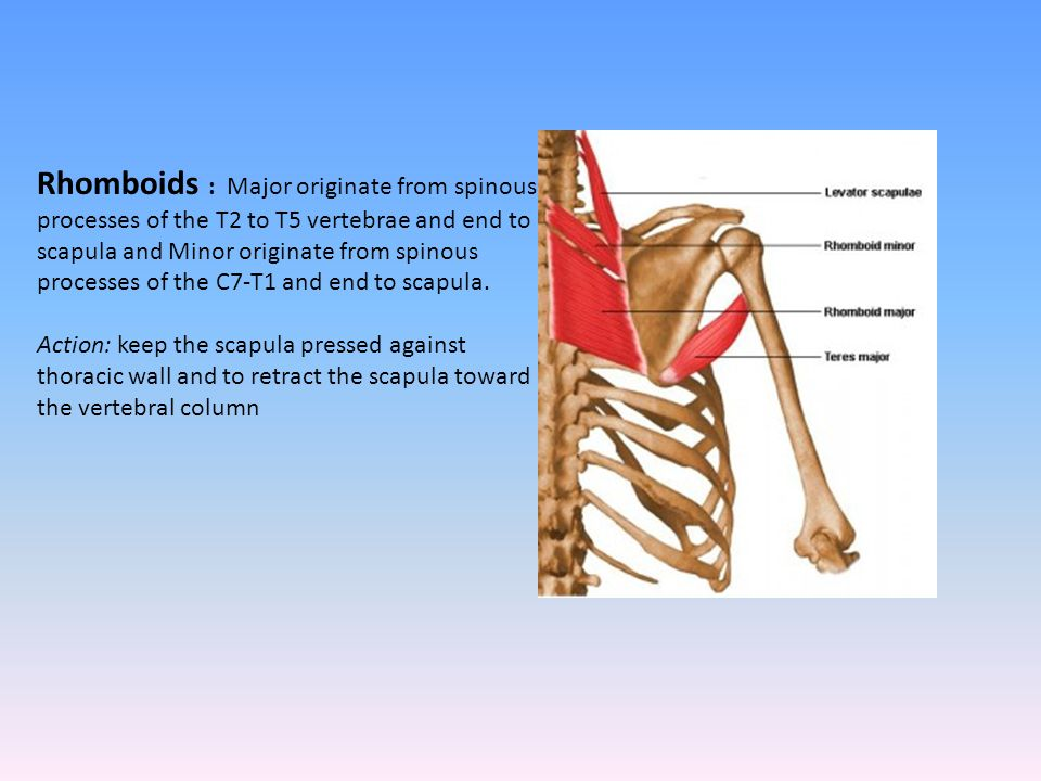 Rhomboids : Major originate from spinous processes of the T2 to T5 vertebrae and end to scapula and Minor originate from spinous processes of the C7-T