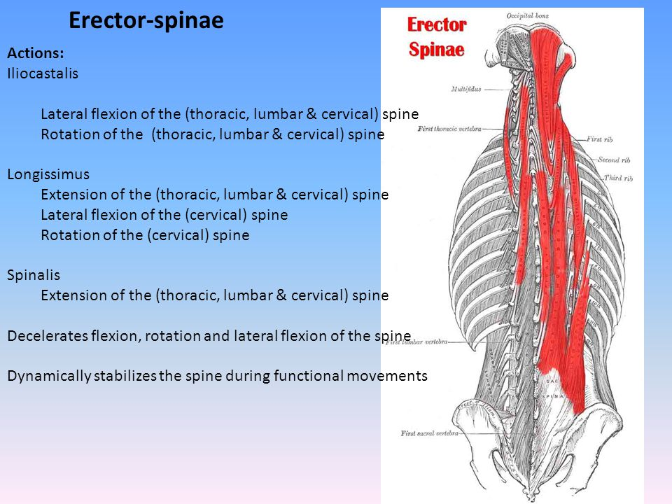 Erector-spinae Actions: Iliocastalis Lateral flexion of the (thoracic, lumbar & cervical) spine Rotation of the (thoracic, lumbar & cervical) spine Lo