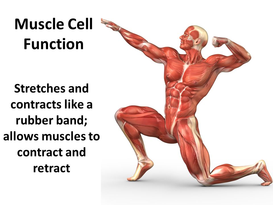 Muscle Cell Function Stretches and contracts like a rubber band; allows muscles to contract and retract
