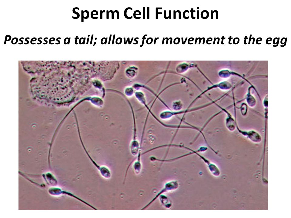 Sperm Cell Function Possesses a tail; allows for movement to the egg