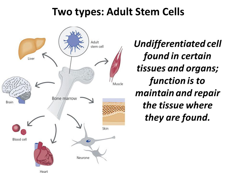 Two types: Adult Stem Cells Undifferentiated cell found in certain tissues and organs; function is to maintain and repair the tissue where they are found.