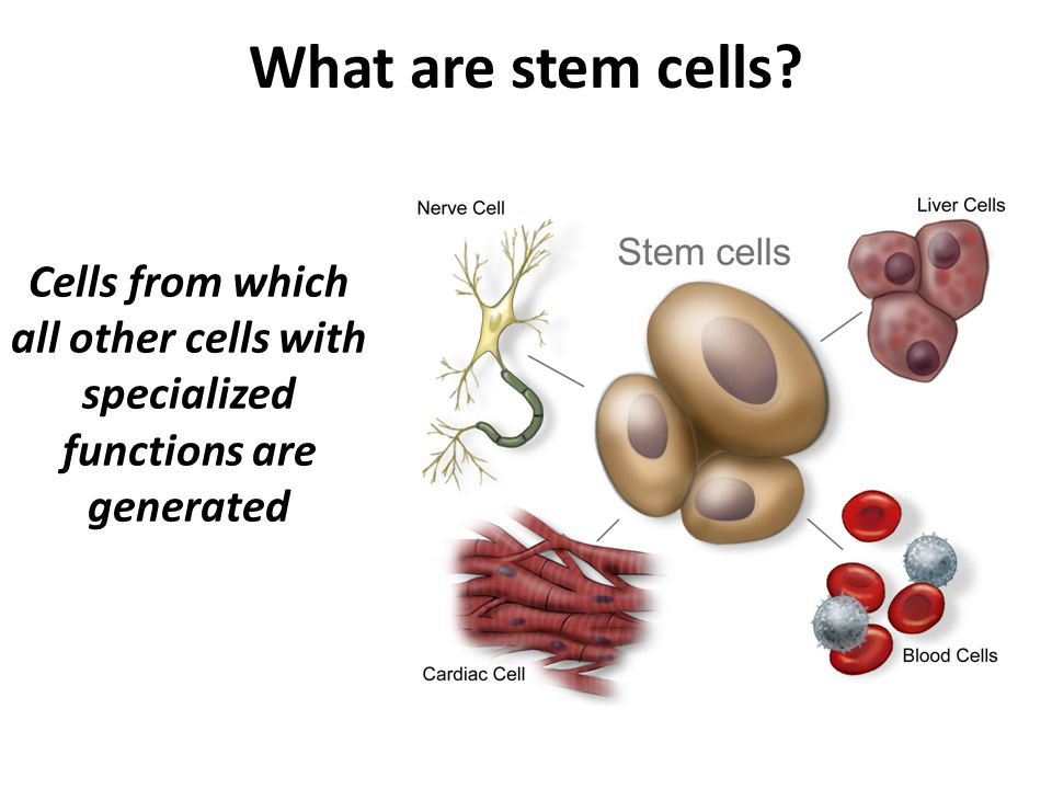 What are stem cells Cells from which all other cells with specialized functions are generated