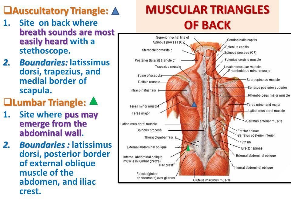 MUSCULAR TRIANGLES OF BACK  Auscultatory Triangle: breath sounds are most easily heard 1.Site on back where breath sounds are most easily heard with