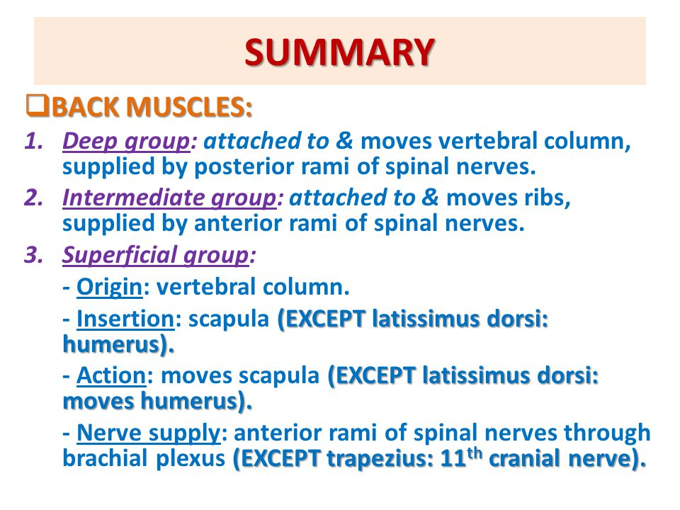 SUMMARY  BACK MUSCLES: 1.Deep group: attached to & moves vertebral column, supplied by posterior rami of spinal nerves. 2.Intermediate group: attache