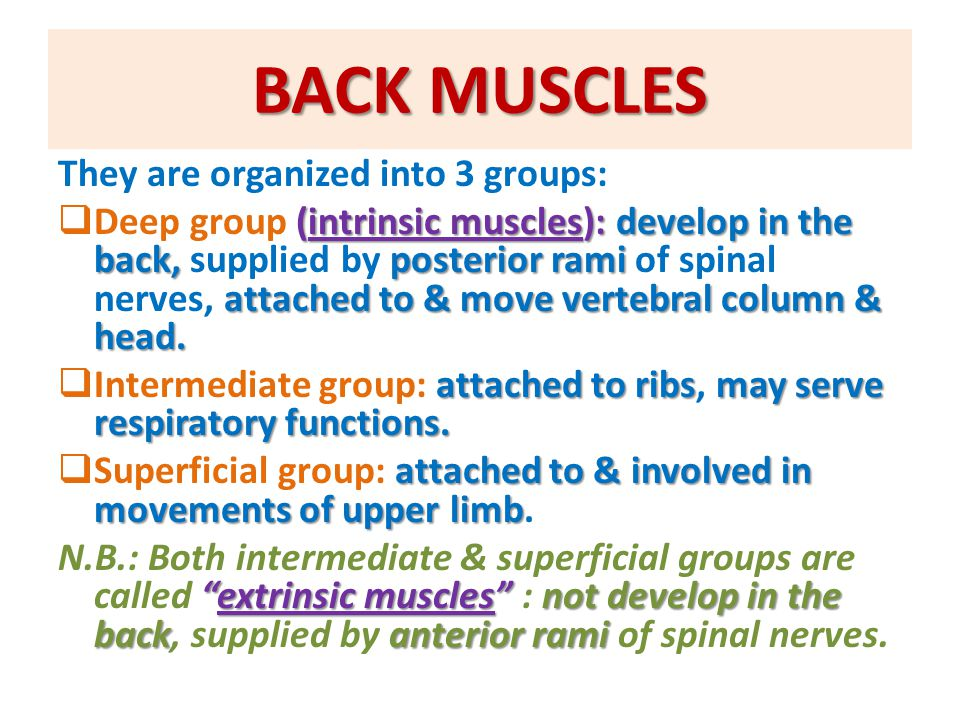 DEEP GROUP OF BACK MUSCLES extend from sacrum to skull.