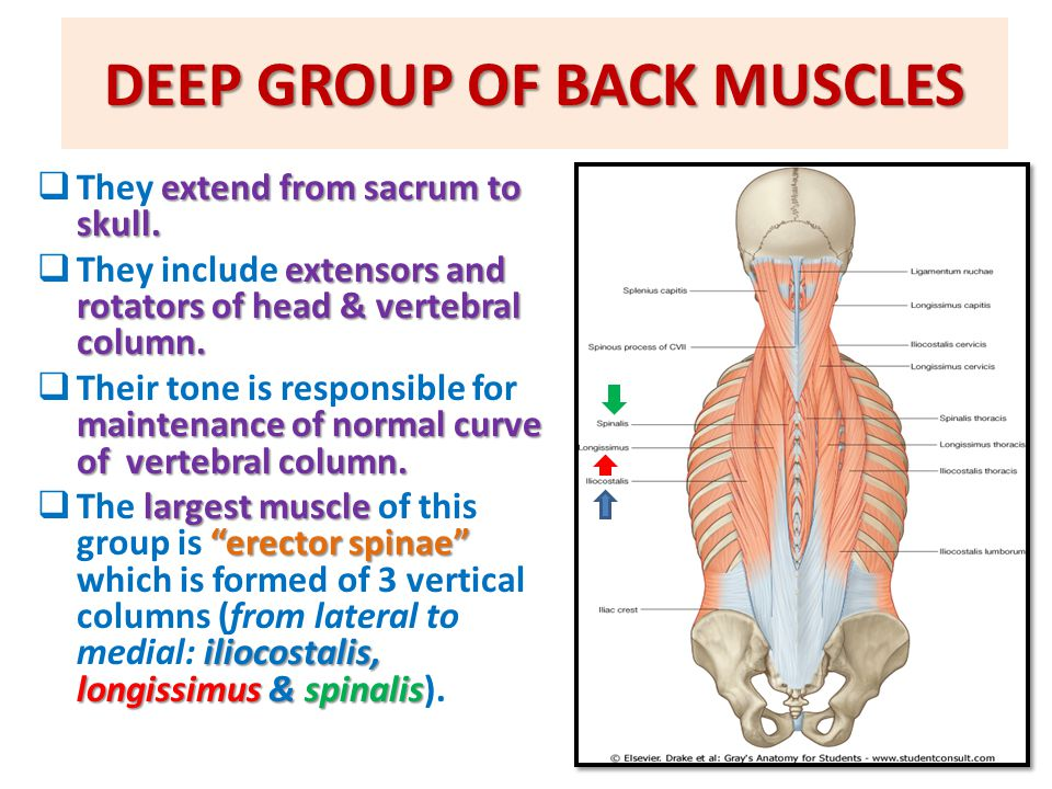 DEEP GROUP OF BACK MUSCLES extend from sacrum to skull.  They extend from sacrum to skull. extensors and rotators of head & vertebral column.  They